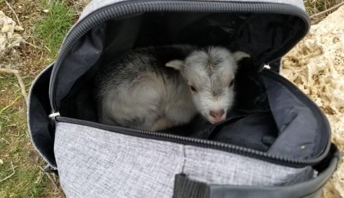 (Özel) Annesini ayı yiyen keçi yavrusunu ölmekten gazeteci kurtardı