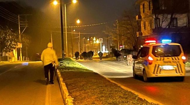 Ahırdan kaçan firari inekler polise yakalandı