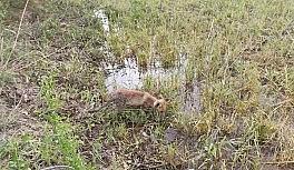 Bitkin halde bulunan tilki, bakımı yapılıp doğaya bırakıldı