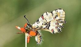 (Özel) Van Gölü Havzası'ndaki kelebek türleri kayıt altına alınıyor