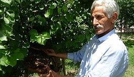 Hakkari'de arı kolonisi ağaca yuva yaptı