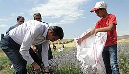 Lavanta hasat günü düzenlendi