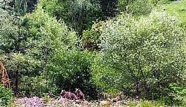 Ormanlık alanda görünen anne ayı ağaçların arasından ilerleyerek kayboldu