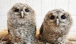 Yavru olarak bulunan baykuşlar, büyütülüp doğaya bırakıldı