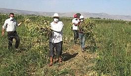 (Özel) Muş'ta devlet destekli kuru fasulyenin hasadına başlandı