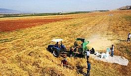 Yeşilyurt'ta tarımsal üretim ve AR-GE sahasında kuru fasulye hasadı